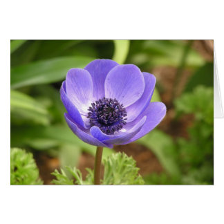 Windflower (Anemone coronaria) card