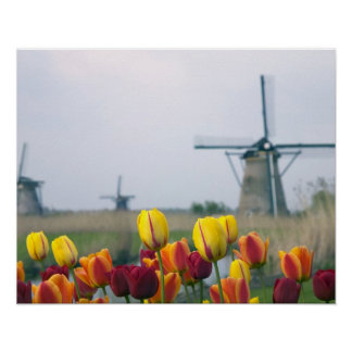 Windmills and tulips along the canal in poster