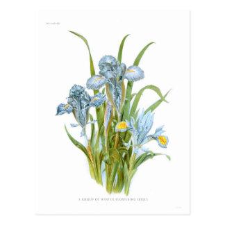 Winter Irises Postcard