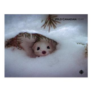 Winter - Short-Tailed Weasel Postcard