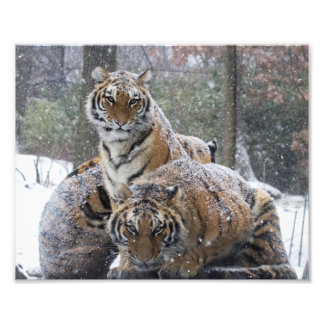 Winter Tigers Photo Print