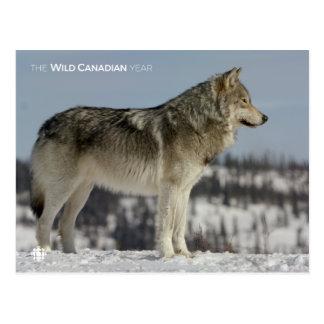 Winter - Wolf Postcard