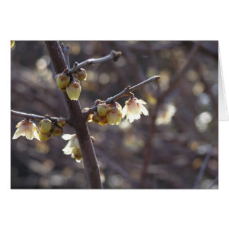 Wintersweet (Chimonanthus praecox) card