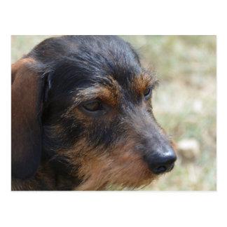 Wire Haired Daschund Dog Postcard