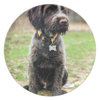 Wirehaired pointing Griffon puppy Plate