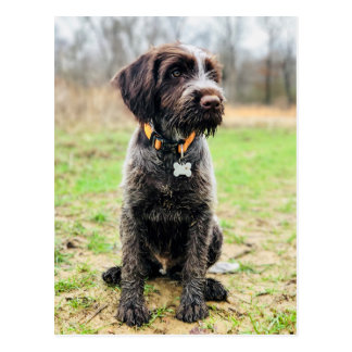 Wirehaired pointing Griffon puppy Postcard