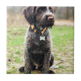 Wirehaired pointing Griffon puppy Tile