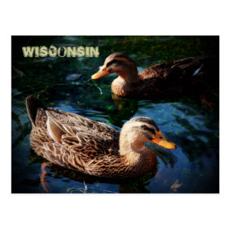 Wisconsin Ducks Postcard