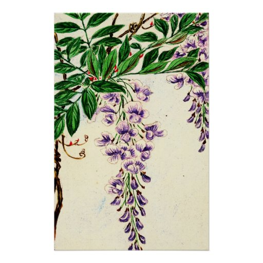 Wisteria Vine Blooms 1870 Print