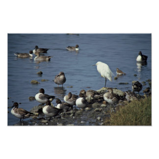 WO, Pintails and Snowy Egrets Posters