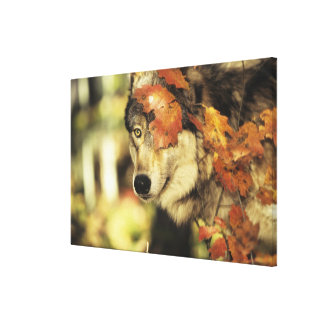 Wolf (Canis lupus), headshot, with Autumn color, Gallery Wrapped Canvas