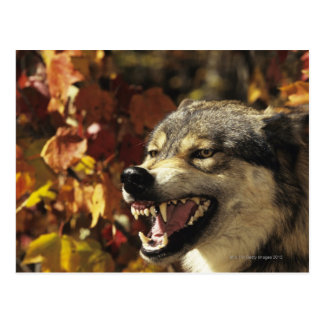 Wolf (Canis lupus) snarling, headshot, with Postcard