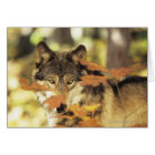 Wolf (Canis lupus) with autumn colour, Canada Card