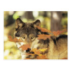 Wolf (Canis lupus) with autumn colour, Canada Postcard