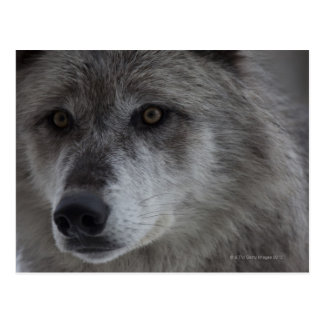 Wolf (Canus lupus) from Yellowstone National Postcard