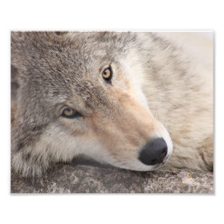 Wolf Eyes - Timber Wolf Photo Print