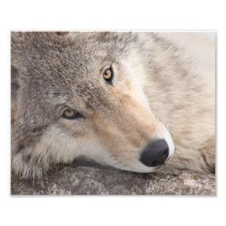 Wolf Eyes - Timber Wolf Art Photo