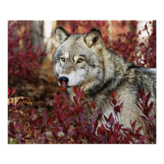 Wolf in red foliage photo