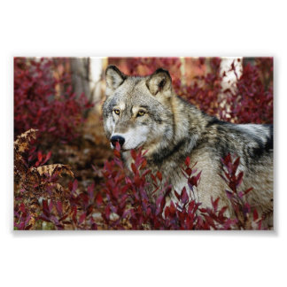 Wolf in red foliage photographic print