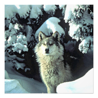 Wolf In The Snow Photo Art