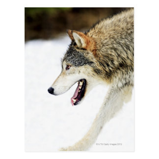 Wolf on the prowl postcard