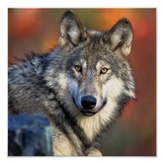 Wolf Photograph Poster