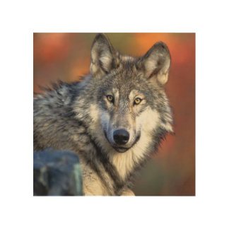Wolf Photograph Wood Print