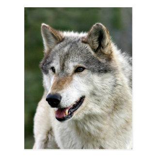 Wolf Postcard