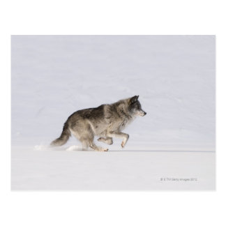 Wolf running in the snow 2 postcard