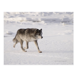 Wolf running in the snow postcard
