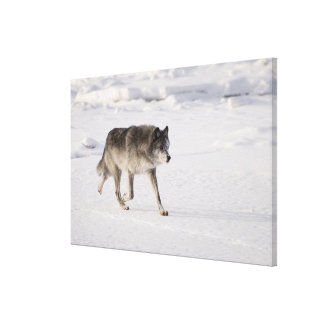 Wolf running in the snow stretched canvas print