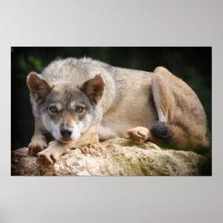 Wolf Watching Print