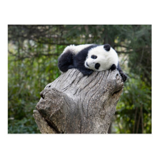 Wolong Reserve, China, Baby panda asleep Postcard