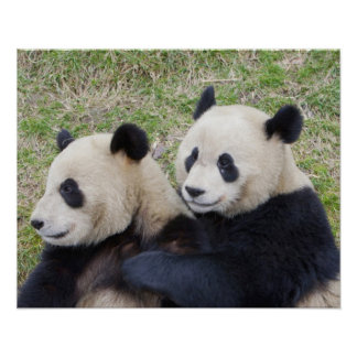 Wolong Reserve, China, Giant panda hugging Poster