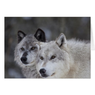 Wolves (Canus lupus) from West Yellowstone. This Card