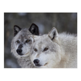 Wolves (Canus lupus) from West Yellowstone. This Postcard