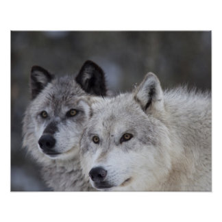 Wolves (Canus lupus) from West Yellowstone. This Poster