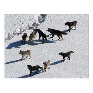 Wolves Postcard