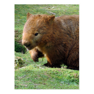 wombat face post card