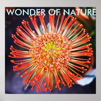 Wonder of nature - Red Leucospermum flower Print