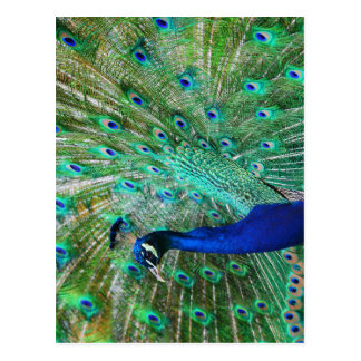 Wonderful Peacock Postcard