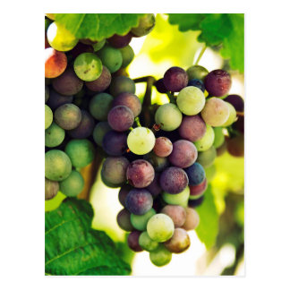 Wonderful Vine Grapes,  Autumn Fall Sun Postcard