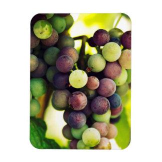 Wonderful Vine Grapes,  Autumn Fall Sun Rectangular Photo Magnet
