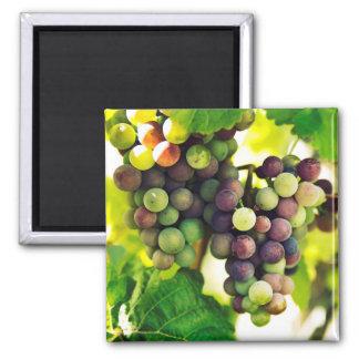 Wonderful Vine Grapes, Nature, Autumn Fall Sun Magnet