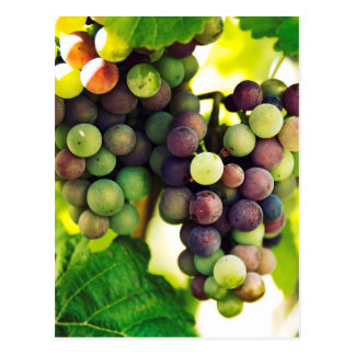Wonderful Vine Grapes, Nature, Autumn Fall Sun Postcard
