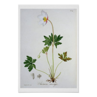 Wood Anemone from 'Phytographie Medicale' by Josep Poster