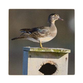Wood Duck female on nest box in wetland Wood Coaster