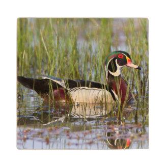 Wood Duck in wetland Wood Coaster