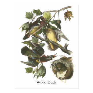 Wood Duck, John Audubon Postcard