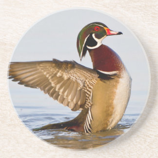 Wood Duck male flapping wings in wetland Drink Coaster